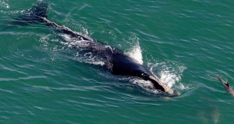 Do Right by Right Whales