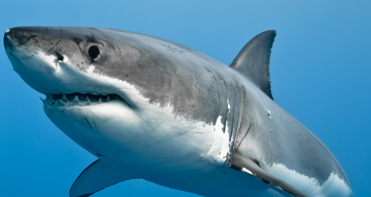 Great White Sharks are Great!